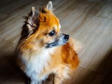 Small Senior Mixed Breed Rescue Dog Of Pomperanian And Chihuahua Stock Sits And Stares Into The Distance With A Pensive Expression.