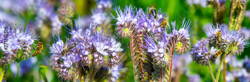 Fotomural lacy phacelia, blue tansy, purple tansy - Phacelia tanacetifolia - honey plant f