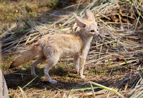 Fennec Fox. The small, smaller cat, Fox with huge ears and a long fluffy tail. On brief pointed muzzle — big black eyes, black nose, big ears. Thanks to these powerful locators, the animal catches the