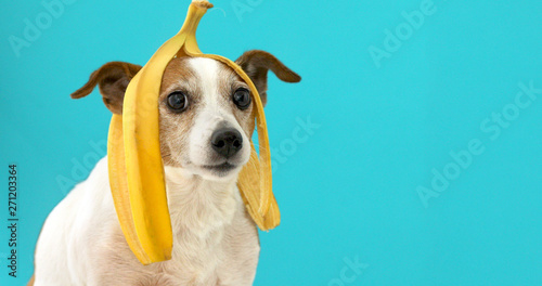 Tela Funny Jack Russell Terrier dog with banana peel on its head looking at camera on