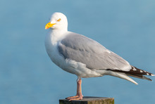 Lesser Black Gull Standing On A Pole