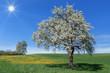 Üppig blühender Birnbaum in einer Wiese mit gelbem Löwenzahn vor blauem Himmel mit Sonne