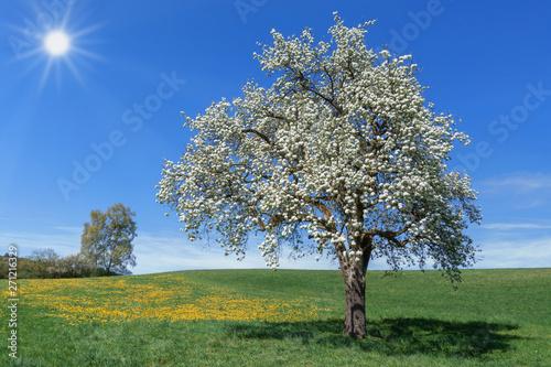 Üppig blühender Birnbaum in einer Wiese mit gelbem Löwenzahn vor blauem Himmel m Wallpaper Mural