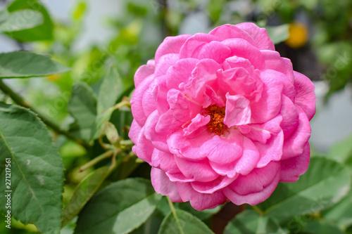 Garden Poster Pink Pink Rose Closeup