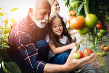Grandfather Growing Organic Vegetables With Grandchildren And Family At Farm