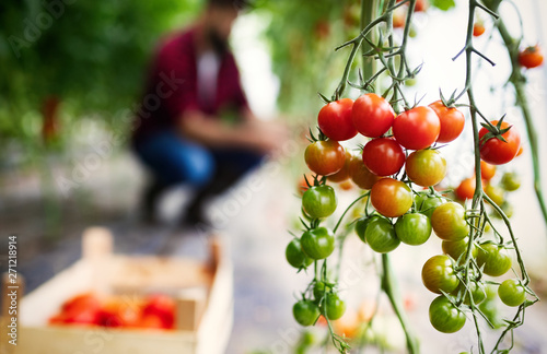 Photo sur Aluminium Akt Beautiful red organic healthy tomatoes grown in a farm