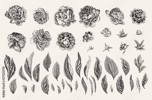Fototapeta Vintage vector botanical illustration. A set of independent elements. Flowers, buds and leaves of peonies. Black and white obraz
