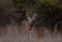 White-tailed Deer Buck Walking...