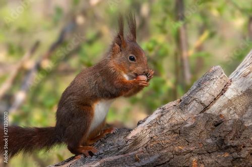 Fotografie, Tablou  Eichhörnchen sitzt aufrecht auf einem Baumstamm und frisst eine Haselnuss