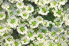 Small White Flowers Of Alyssum Close-up. Floral Background