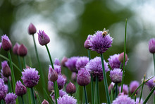 Flowering Chives With Bee