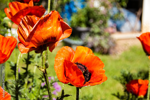 Huge orange Oriental poppies (Papaver orientale) have a radiant and papery blooms with black eyes Canvas-taulu