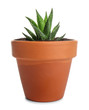 Green succulent in pot on white background