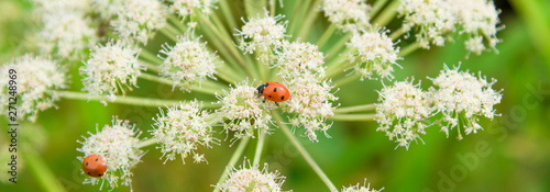 Photo  Beautiful summer panoramic background, banner with ladybugs on white wildflowers