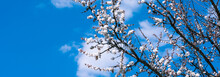 Natural Panoramic Background, Banner, Template - Apricot Blossom With Beautiful White Flowers And Blue Sky