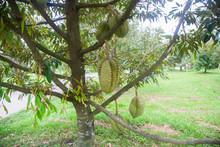 Durian Trees In The Garden Hav...