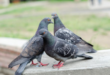 Three Pigeons In The Park In Summer