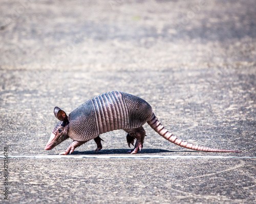 Armadillo walking a straight line! Wallpaper Mural
