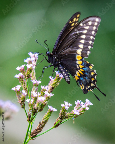 Black Swallowtail Butterfly and wildflowers on a sunny day!