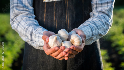 Fotomural  A man holds several garlic bulbs. Products from your garden