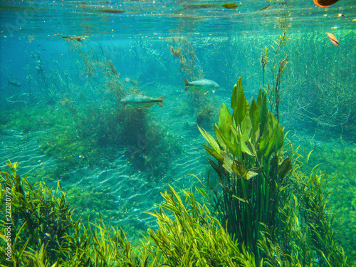 Foto  Underwater view with fish and water plants at Sucuri river in Bonito, Mato Gross
