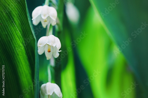 Poster Muguet de mai Lily of the valley flowers in early morning outdoors macro