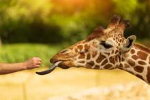 Close Up Head Shot Of A Kordofan Giraffe (giraffa Camelopardalis Antiquorum) Being Hand Fed By A Tourist In A Zoo