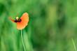 Einzelne Mohnblume im Frühling