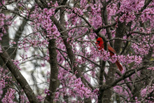 A Male Red Cardinal Sits Conte...