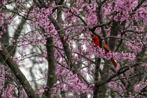 Fényképezés A male red cardinal sits contentedly amongst the blossoms of a redbud tree in Southwest Missouri on a Spring day