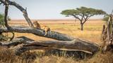 Fototapeta Sawanna - Lioness resting on a tree, at Serengeti National Park, Tanzania
