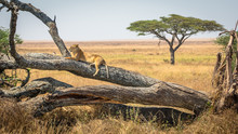 Lioness Resting On A Tree, At ...