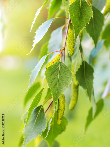 Canvas Print Tender fresh green birch leaves on a tree in sunny weather_