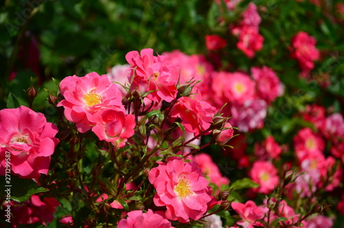 Tuinposter Azalea amazingly beautiful roses on the island of Nessebar Bulgaria