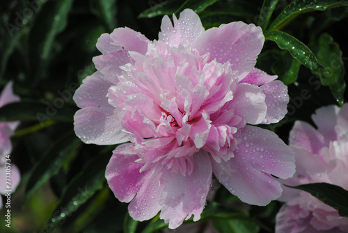 Tuinposter Azalea blooming peony in the garden