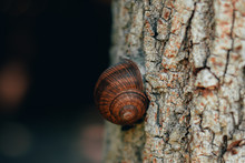 Brown With Fine Details Snail Shell Pasted On A Grey Rough Tree Trunk With Copy Space – Beautiful Wildlife In The Forest