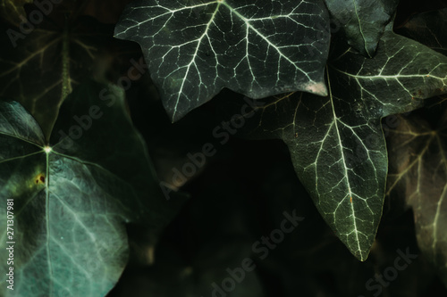 Obraz na plátne Green ivy leaves with white details after rain – Dark background of lush forest