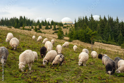 Fotografia Mountain landscape with herd of sheep graze on green pasture in the mountains