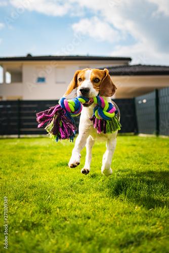 Obraz Beagle dog running with a toy in garden, towards the camera - fototapety do salonu
