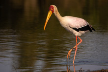 Yellow Billed Stork Hunting In A Lake