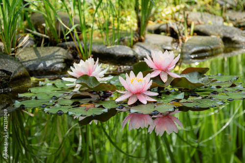 Photo Magic of nature with three pink water lilies or lotus flowers Marliacea Rosea after rain