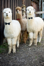 Portrait Of Three Tame Alpacas Wearing Bow Ties