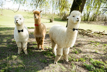 Three Tame Alpacas Wearing Bow Ties Standing On A Meadow