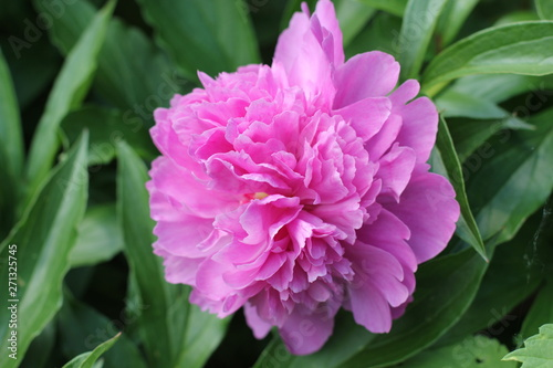 Tuinposter Azalea Bush bright pink peonies in a park Photo