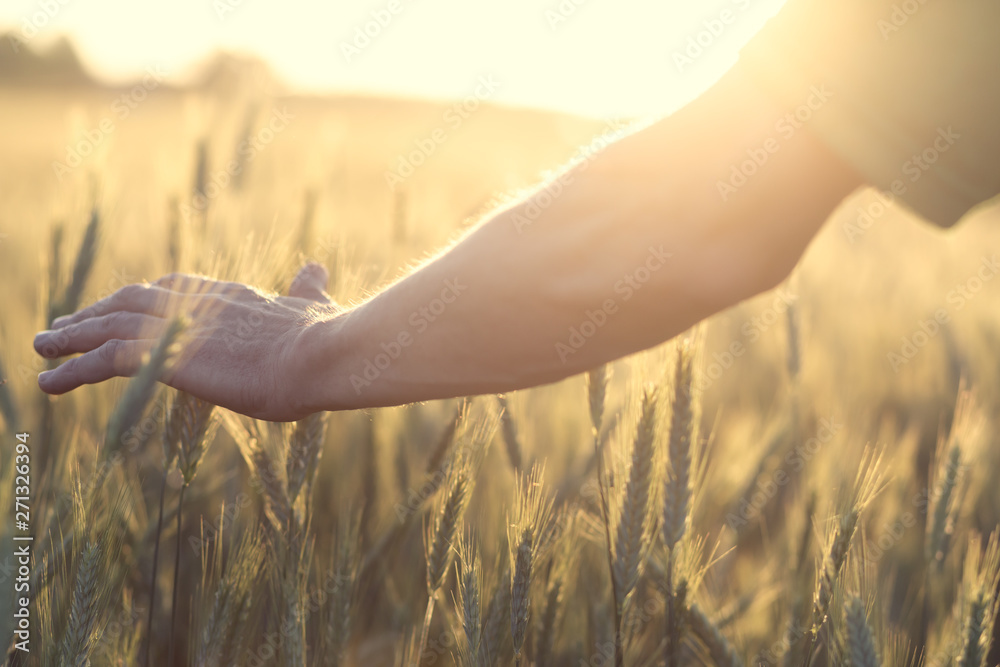 Fototapety, obrazy: Hand touches the cereal. Concept of protection and care for grain. Shallow depth of field and the setting sun shine from the back.