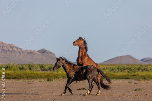 fototapeta na lodówkę Wild Horse Stallions Fighting in the Utah Desert
