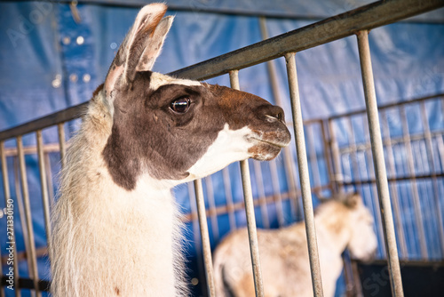 Photo Ne pas agacer le Lama