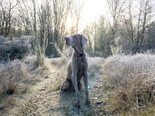 Dog On A Trail In Morning Frost