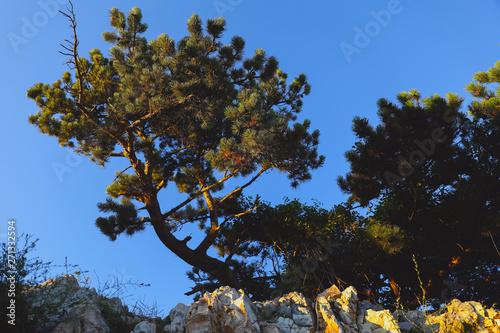 Scotch fir on the rocky wall in Croatia, summer view Canvas-taulu