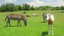 Handheld Shot Of A Scimitar Horned Oryx Standing In A Field With Some Zebras